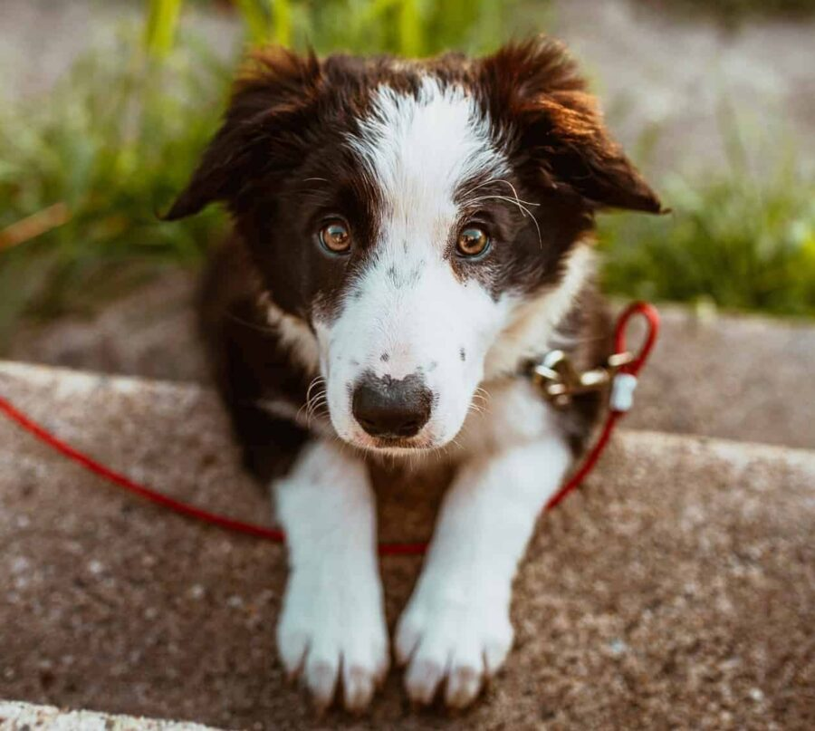 Border Collie on red leash