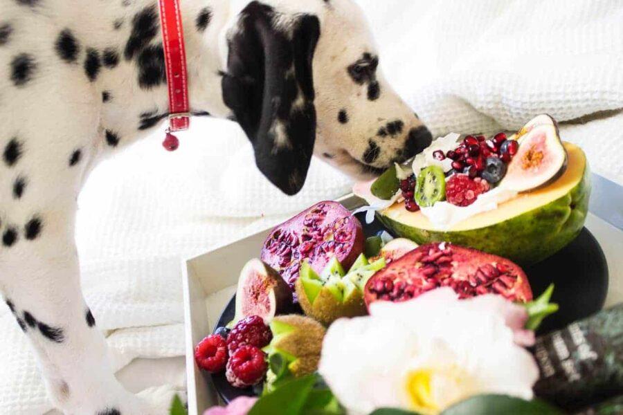 Dalmatian sniffing fruits
