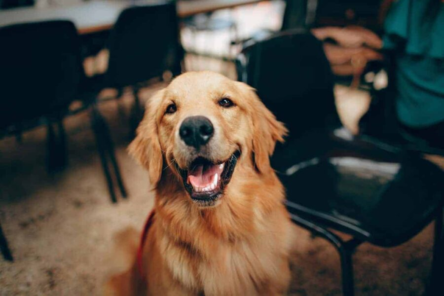Happy looking Golden Retriever