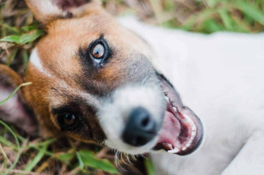 Jack Russell terrier lying on grass