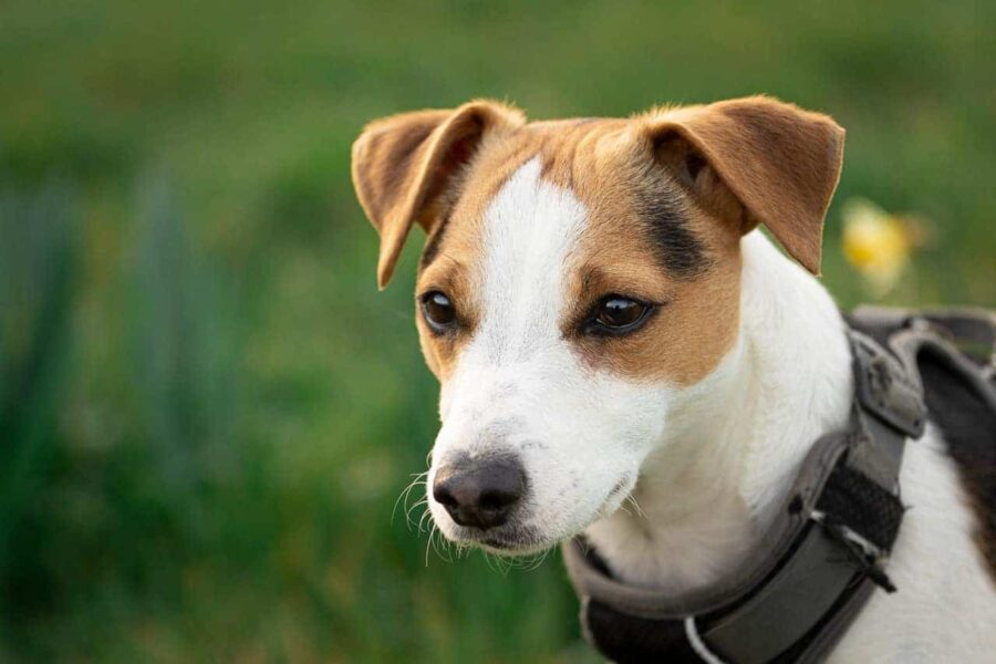 Jack Russell wearing harness outdoors
