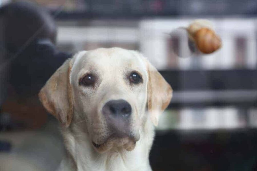 Labrador retriever looking at snail on the other side of the glass.
