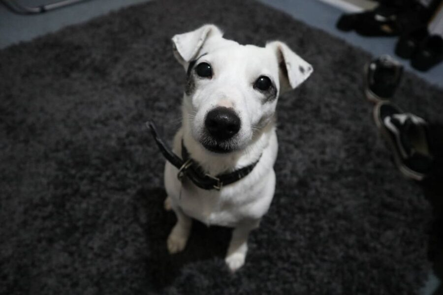 White Jack Russells with black collar