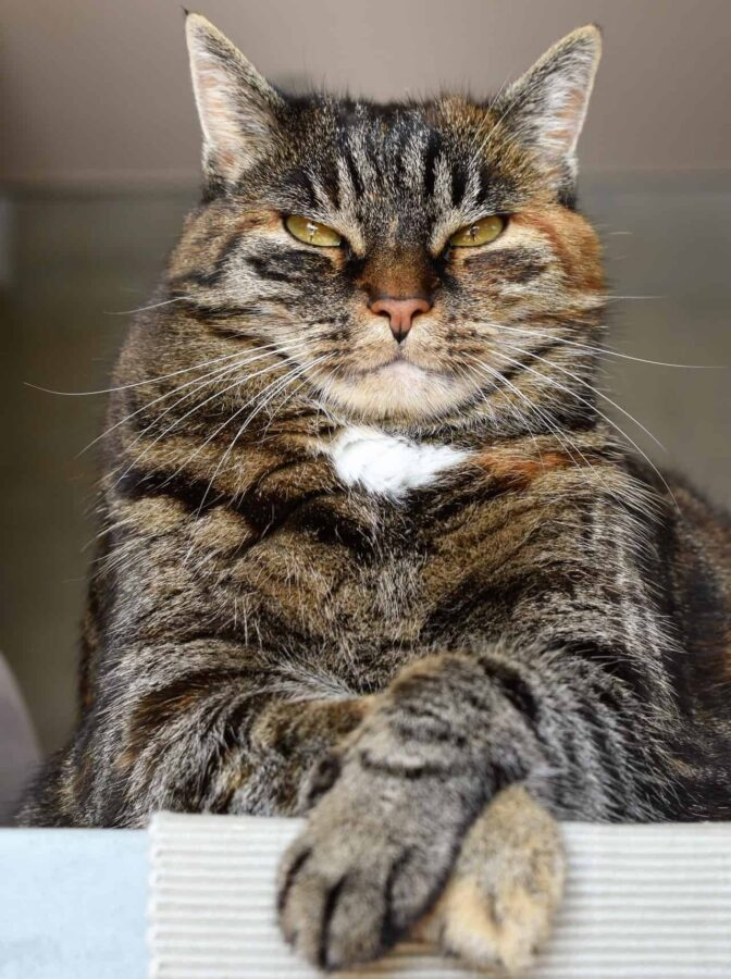 Angry-looking cat, paws crossed