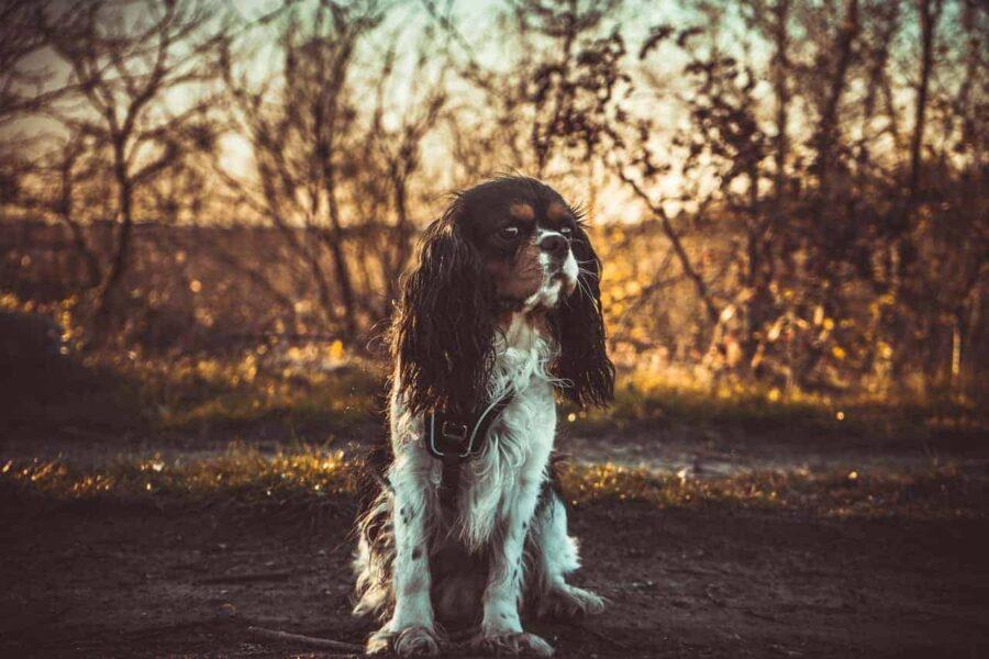 Black brown white Spaniel dog sitting