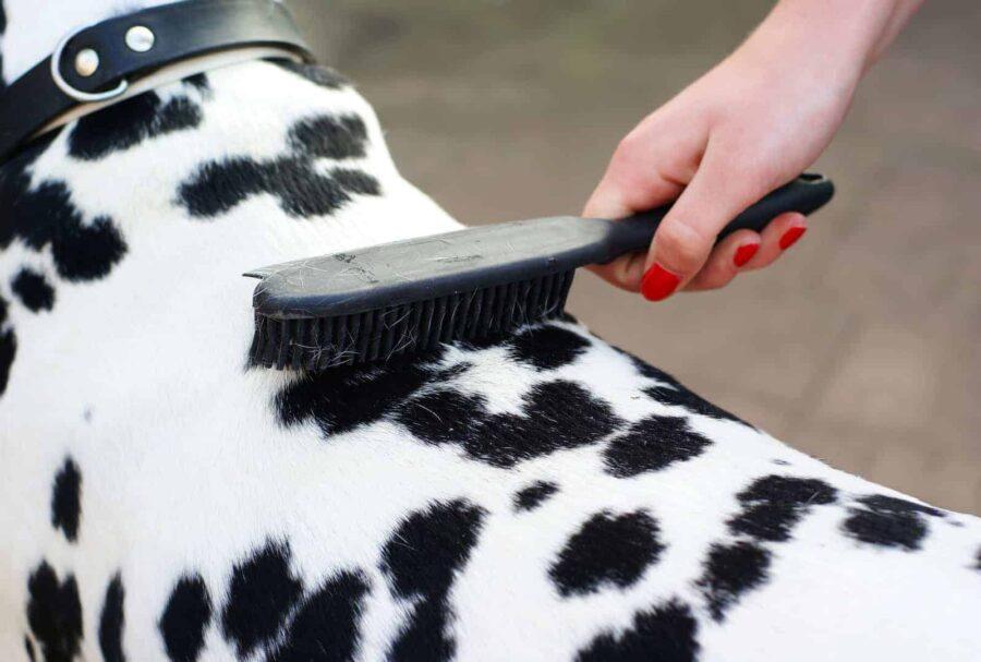 Brushing the back of Dalmatian dog
