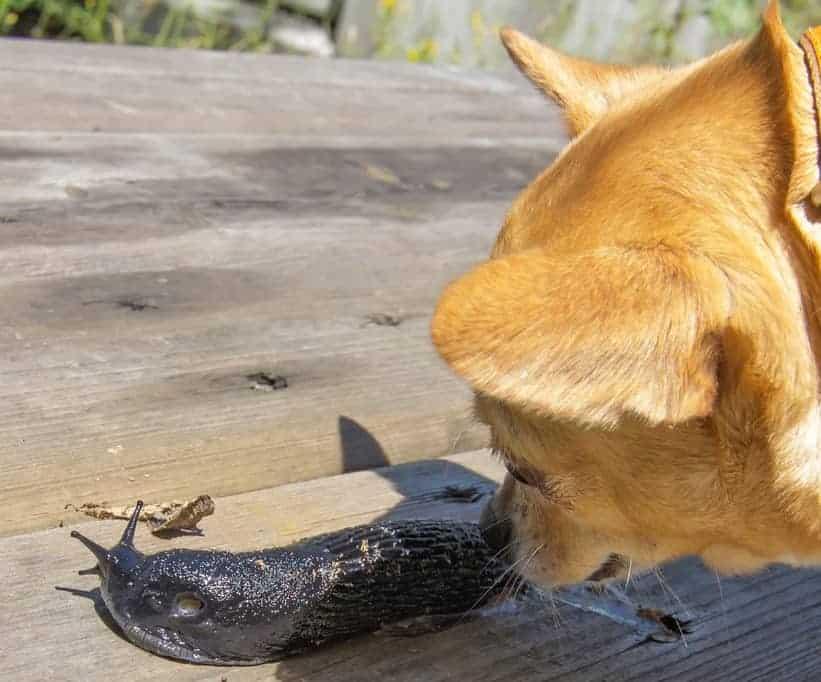 What happens if a dog eats a slug