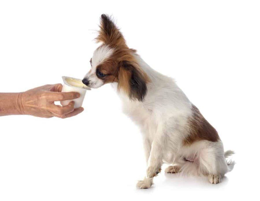 Feeding Papillion dog yoghurt