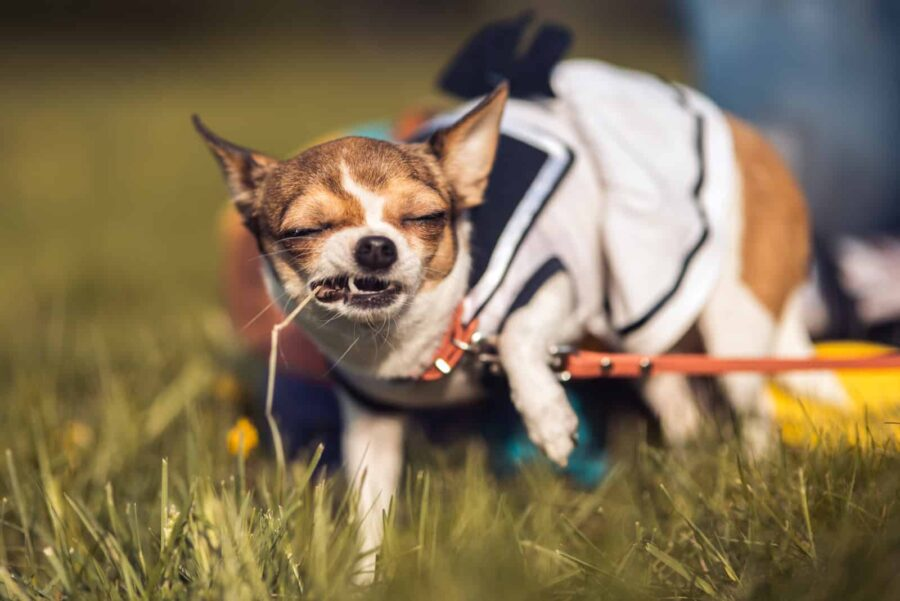 Chihuahua chewing wire on grass