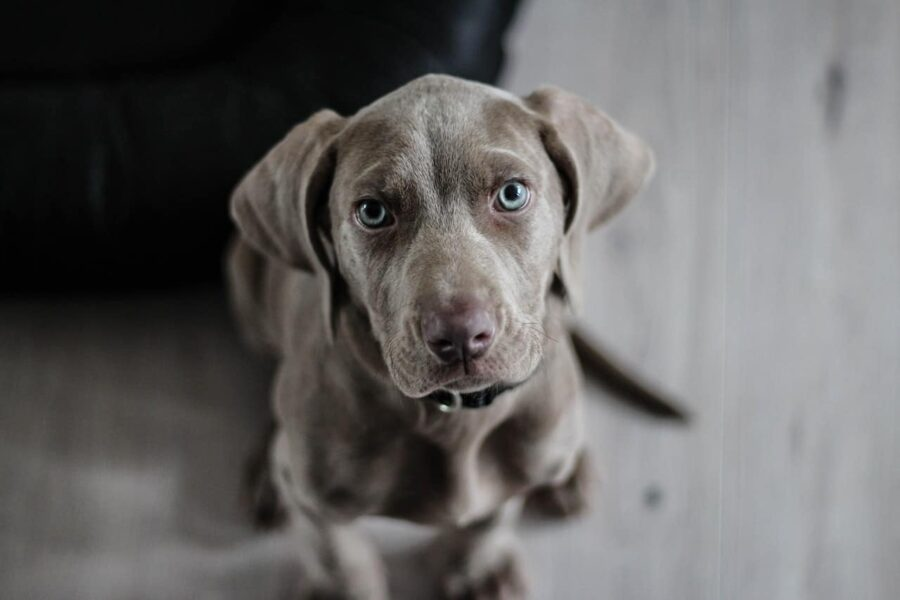 Grey puppy blue eyes looking at camera