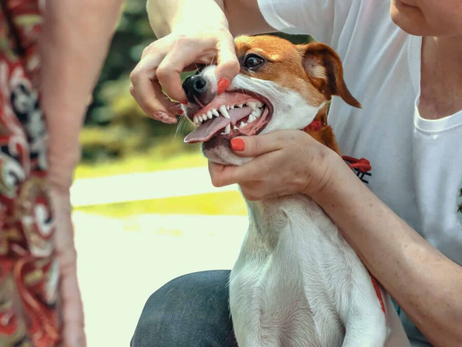Handler shows teeth of a Jack Russell to expert