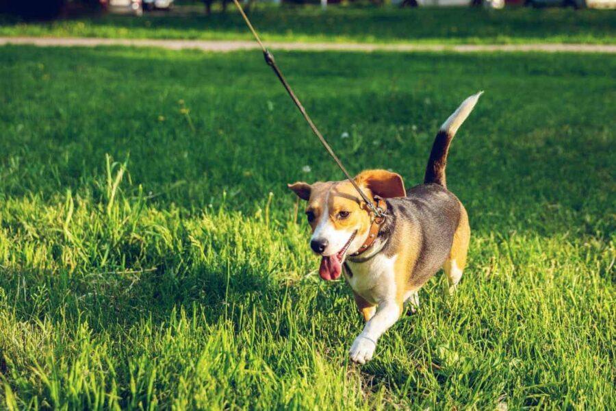Healthy beagle walking on grass