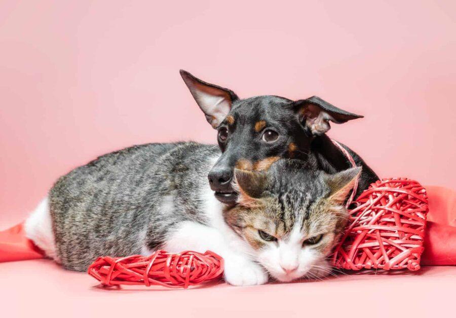 miniature pinscher puppy and cat