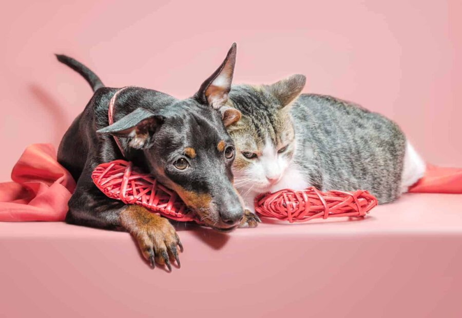 miniature pinscher puppy and cat with valentines day decor close