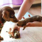 When does mother dog stop eating puppies poop ?
