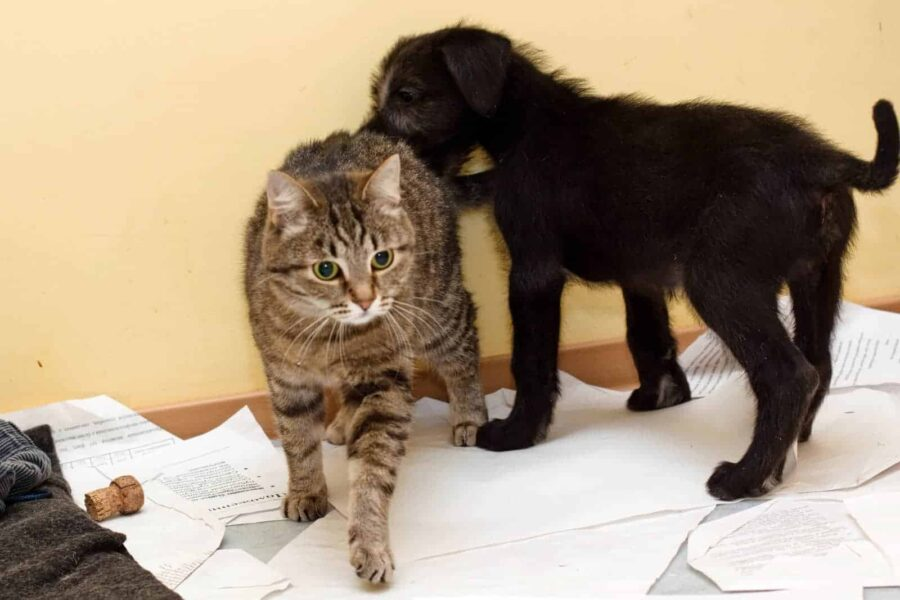 Puppy and grey tabby cat