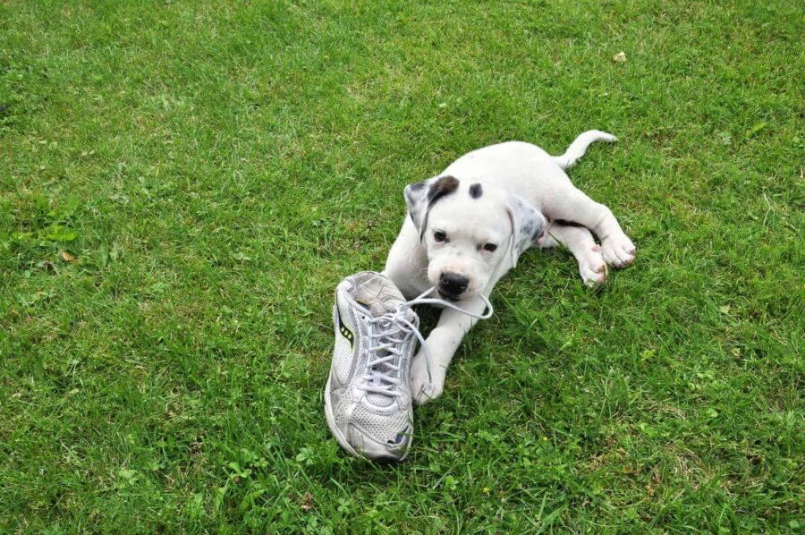 Puppy chewing on shoelace