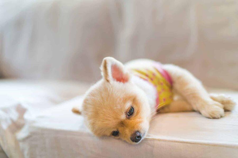 Sleepy Pomeranian lying on sofa