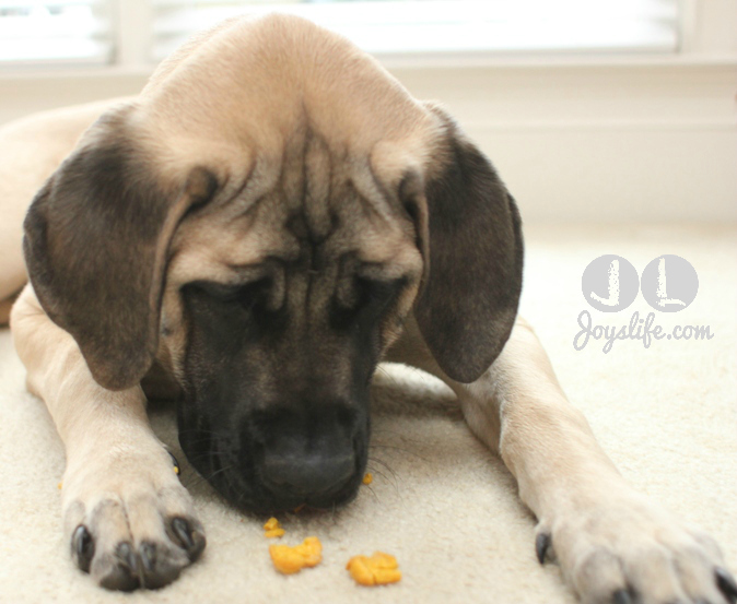 Best Homemade Dog Food For English Mastiff