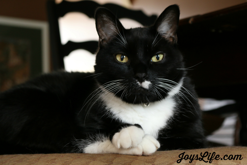 My Cat Domino's Personal Business #FreshStepCats #ad #cat #pets