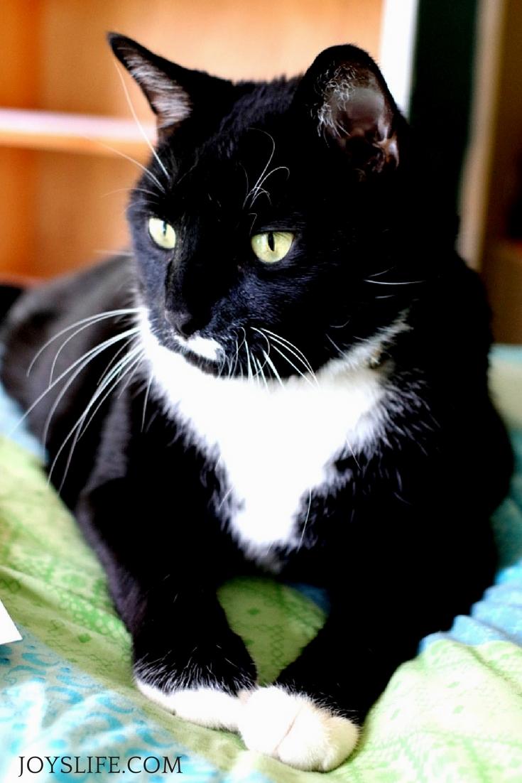 Beautiful Tuxedo cat lying down