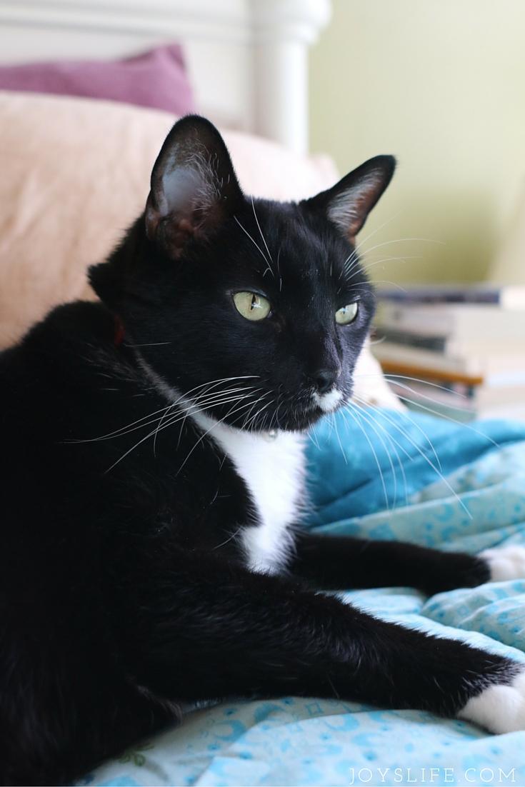 tuxedo cat on bed