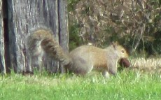 Squirrel toting a walnut he just dug up where he had it stored in the yard