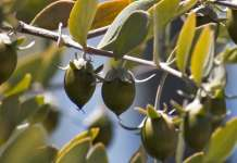 호호바 열매