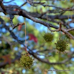 three locust tree gum balls