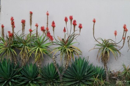 Aloe Plants Against Wall