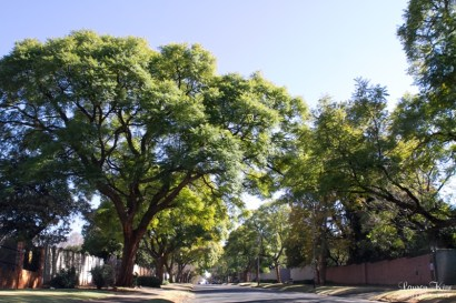 Large Trees along street