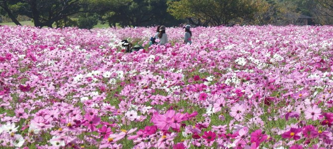 A flower world is shown up on the Sandbar. Flower Festival At Uminonakamichi Seaside Park.