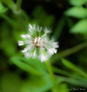 Rêve de fleur de pissenlit - Haut Quercy - Bétaille - 2019