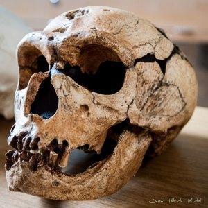 Copie du crâne de l