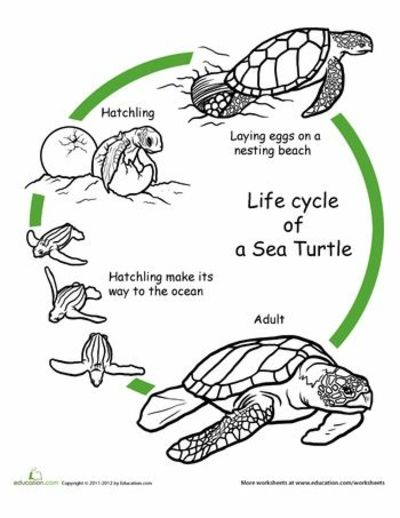 Worksheets: Color the Life Cycle: Turtle Perfect for our