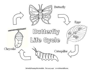 life cycle of a butterfly coloring page / Preschool items