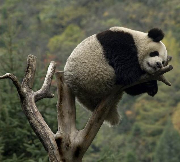 Cute Nutella Wallpapers Fat Panda On A Little Branch Jpegy What The Internet