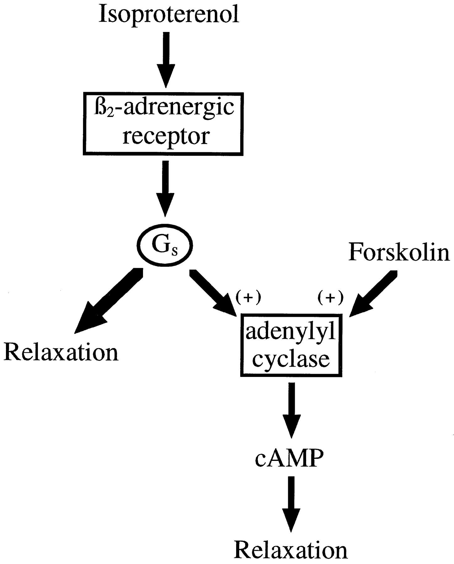 M2 Muscarinic Receptors Inhibit Forskolin- but not