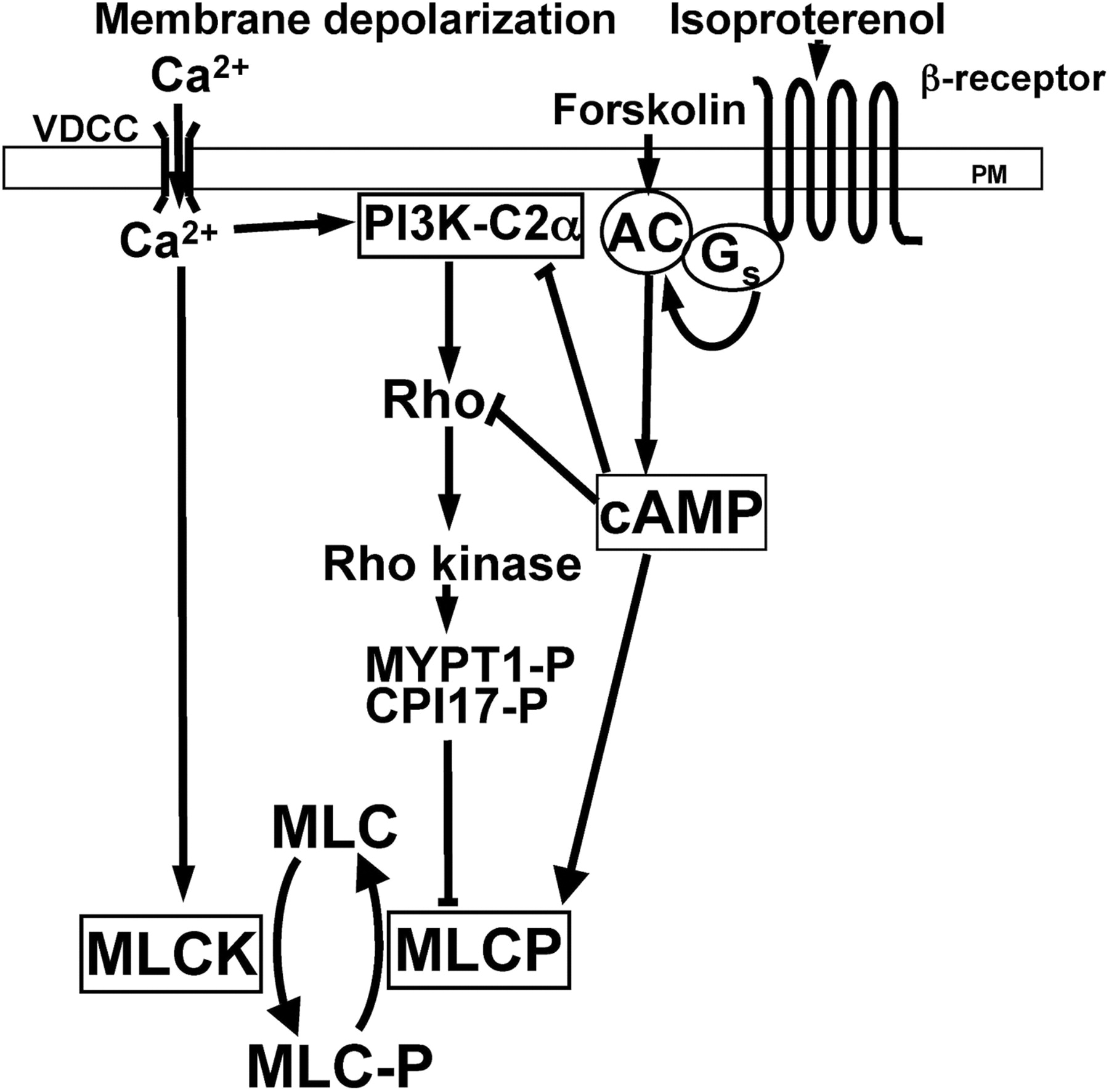 Ca2 Independent Inhibitory Effects Of Cyclic Adenosine 5 Monophosphate On Ca2 Regulation Of