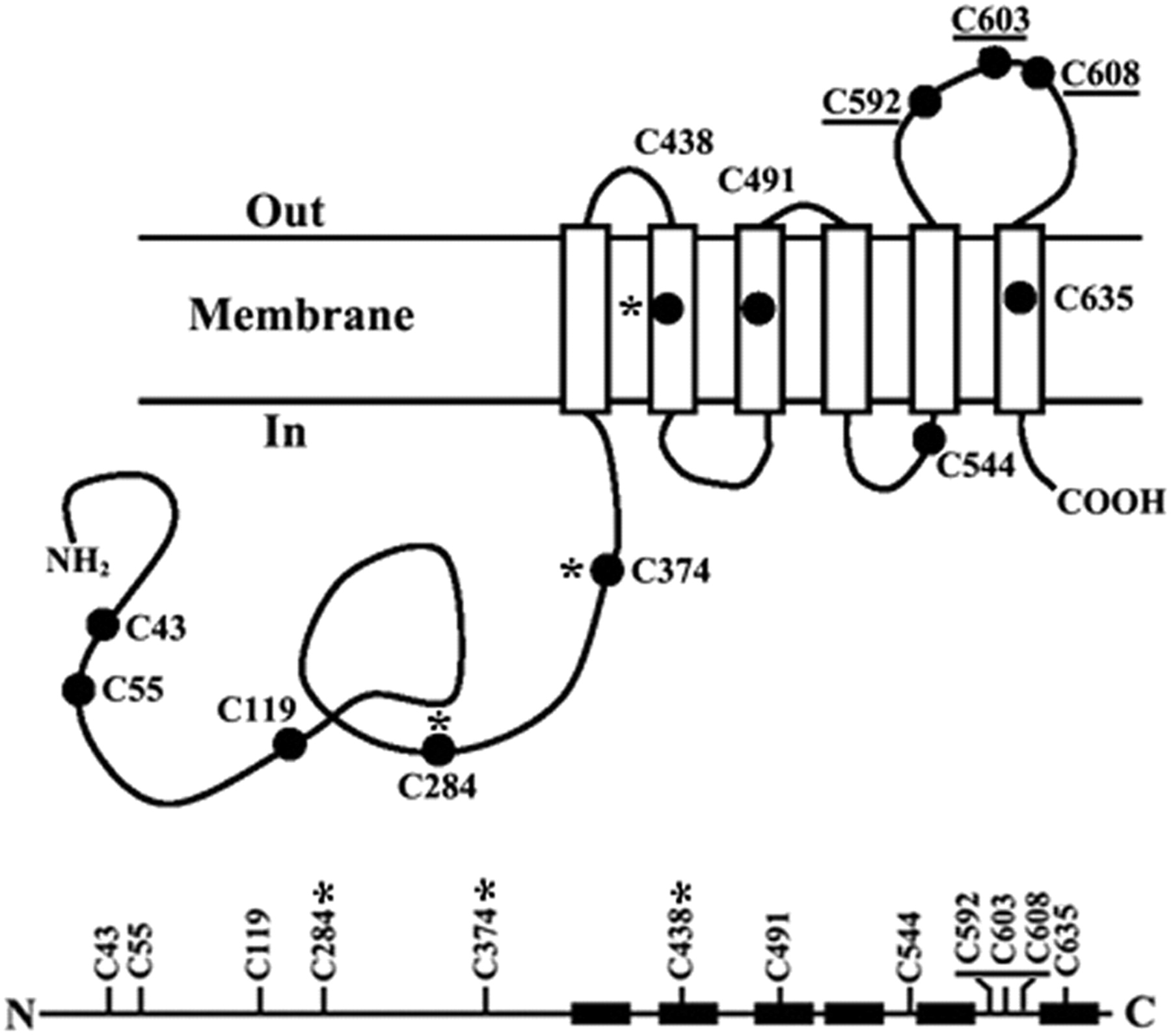 Effect of Cysteine Mutagenesis on the Function and