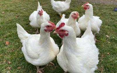 The story of 6 rescued hens