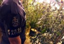 PM encontra grande plantação de maconha em Ibiúna