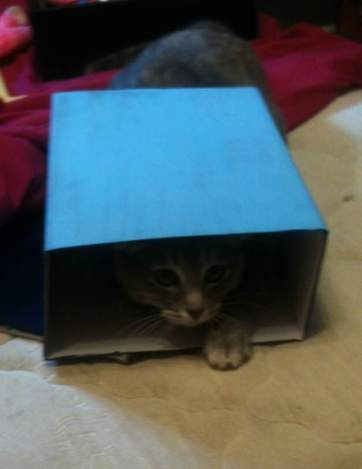 Baby kitty playing in a box. By Isabelle Barlow