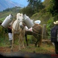 Colombian-Milk-Horse