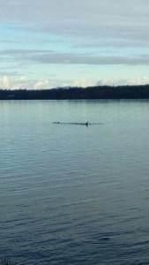 Orcas' dorsal fins