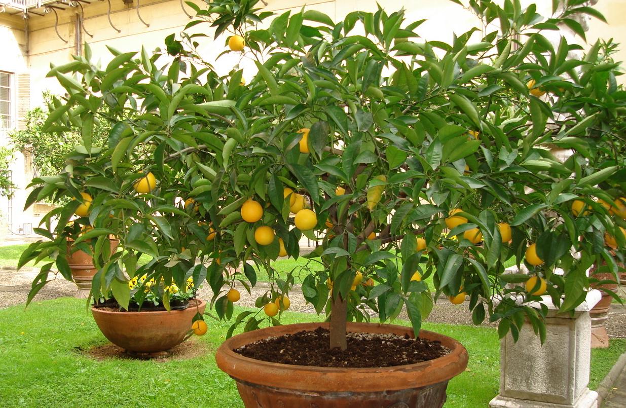 Frutferas  Mudas e Plantas JP