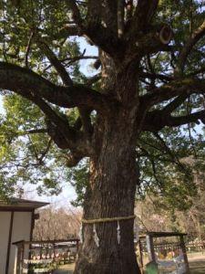 平野神社ご神木