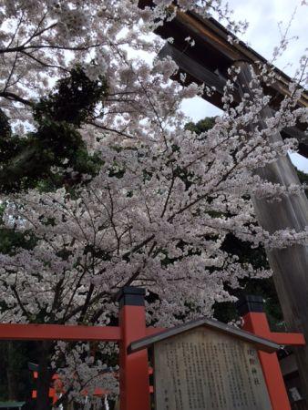 京都 地元民しか知らないお花見スポット四選 独り占め西陣桜