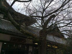北野桜.JPG