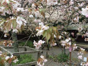 平野神社 桜2.JPG